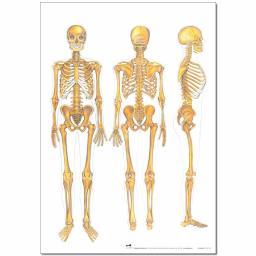 The Skeleton Poster