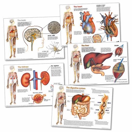 Organs Charts